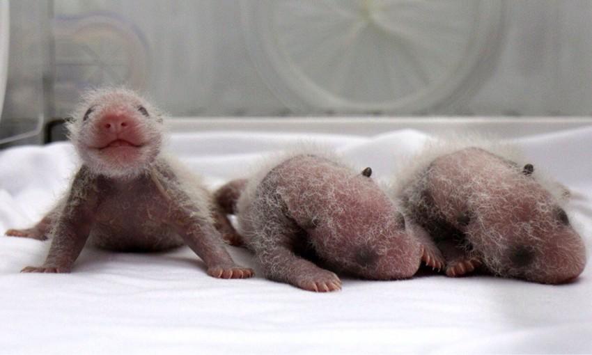 28. Панда детеныш, животные