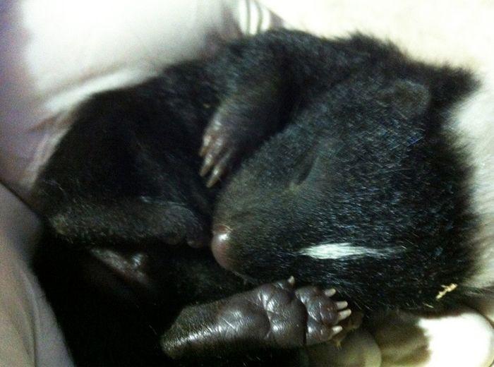 10. Маленький скунс детеныш, животные