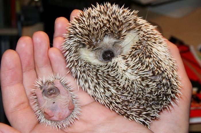 7. Крошечный ежик детеныш, животные