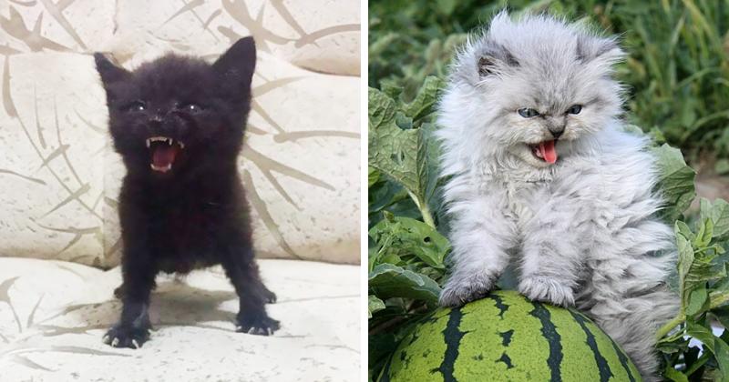 Разгневать маленького хищника может всё, что угодно: люди, смена обстановки, другие представители семейства кошачьих зло, злые, котята, фото, юмор