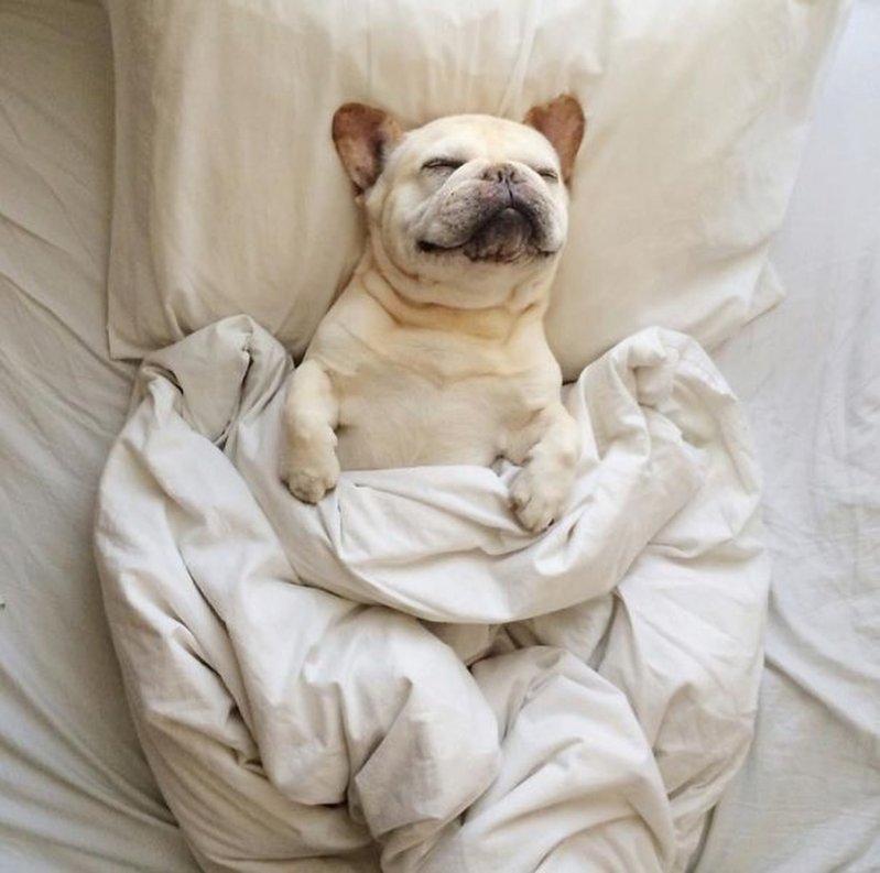 27 собак, которые спят в вашей постели, — потому что могут! животные, собаки, спят, фотографии