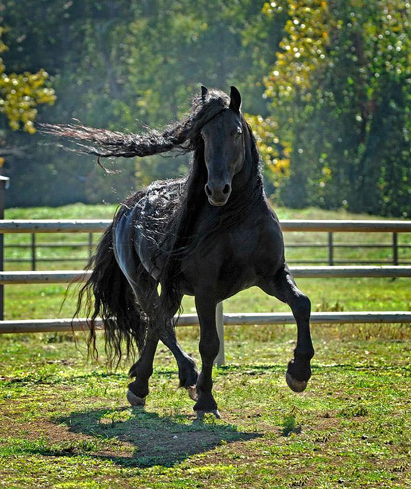 Фридрих Великий - самый красивый жеребец в мире! жеребец, красота, лошадь, фото