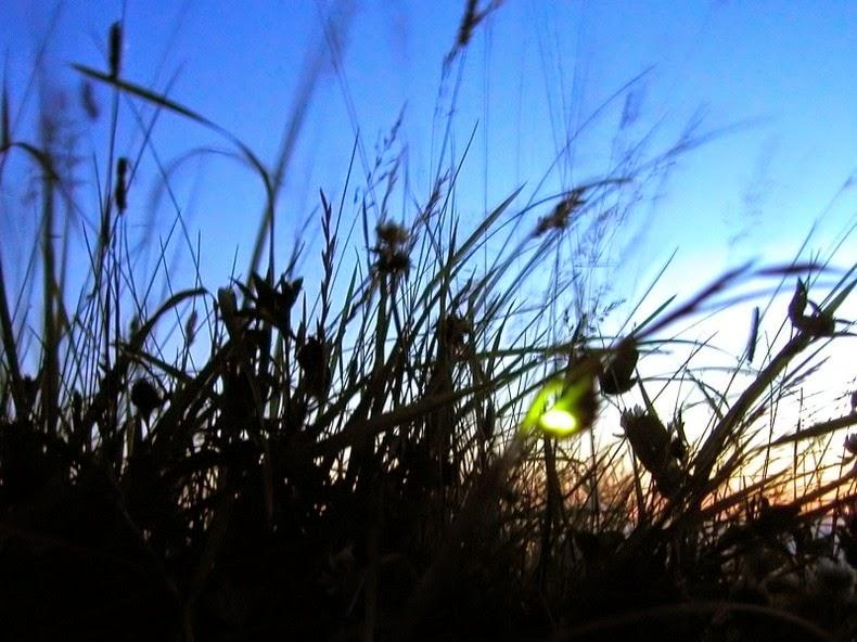 Светлячки с самыми роскошными и необычными антенами интересное, макро, насекомые, фотографии