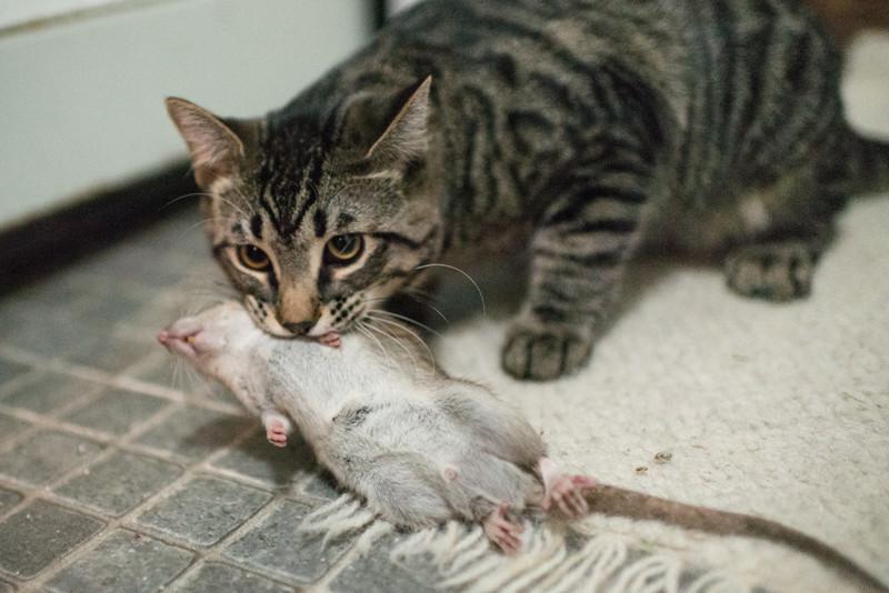 Почему кошки приносят добычу своим хозяевам добыча, животные, кошки, хозяева