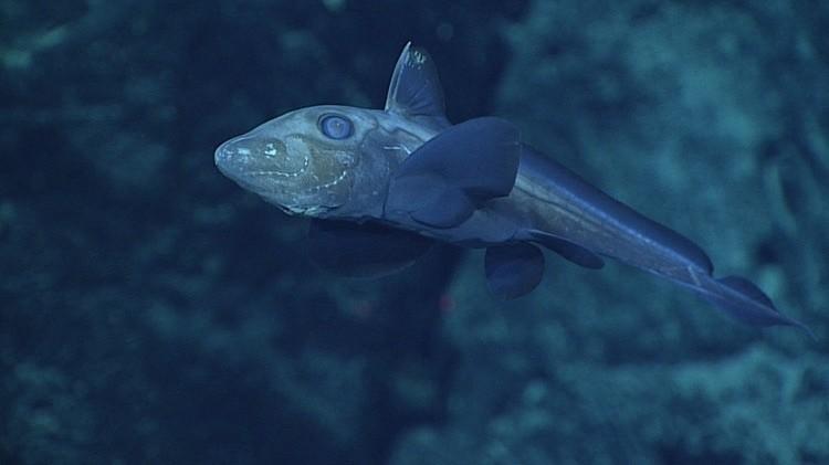 Химера, или рыба-привидение, на глубине около 1850 метров. снимки, тихого океана