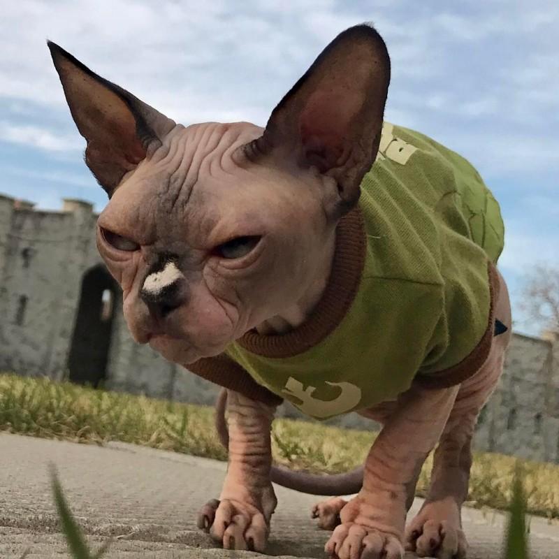Самый злобный кот планеты набирает армию поклонников  животные, кошки, сфинксы