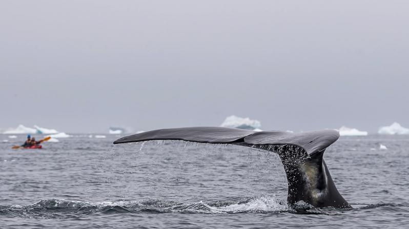 Невероятное видео гренландских китов снятое с воздуха видео, животные, киты