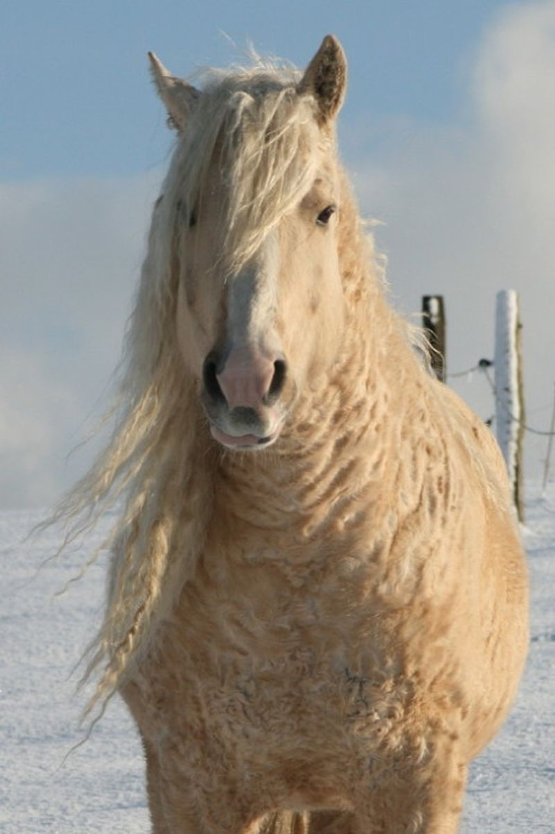 Забайкальская кучерявая лошадь жеребец, животные, конь, кучерявая лошадь, лошадь, познавательно, удивительно