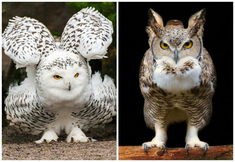 Взрослая самка совы тяжелее самца на 20-25%. интересное, природа, совиные, фауна