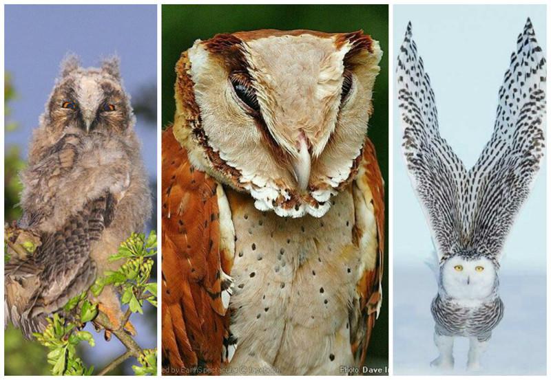 Пучки перьев на верхушке головы у некоторых сов называются «слуховым хохолком» и служат только для отображения. интересное, природа, совиные, фауна