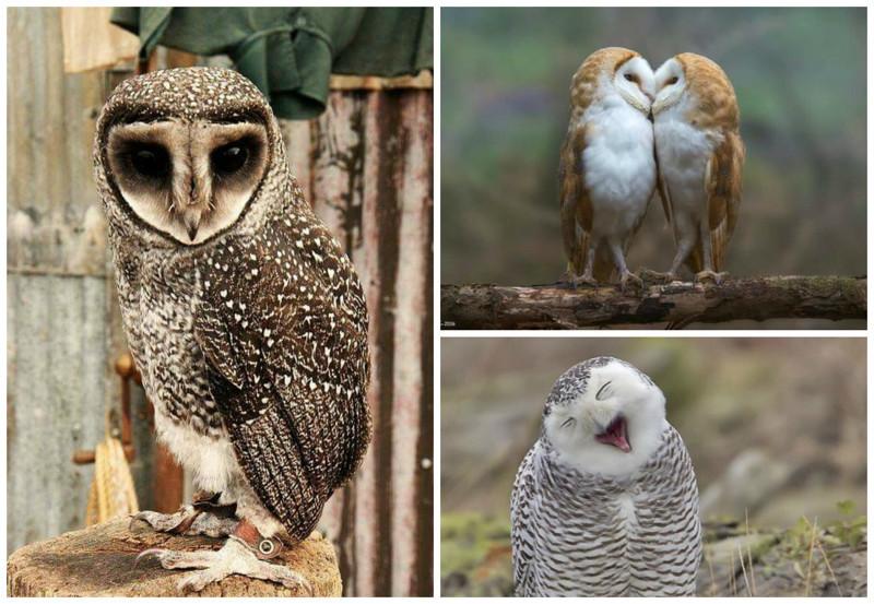 Многие виды сов обладают специальными перьями, адаптированными для бесшумного полета. интересное, природа, совиные, фауна