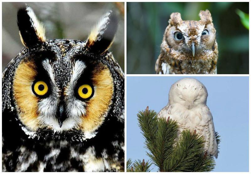 Вид разделен на два семейства, а именно типичные совы и сипухи. интересное, природа, совиные, фауна