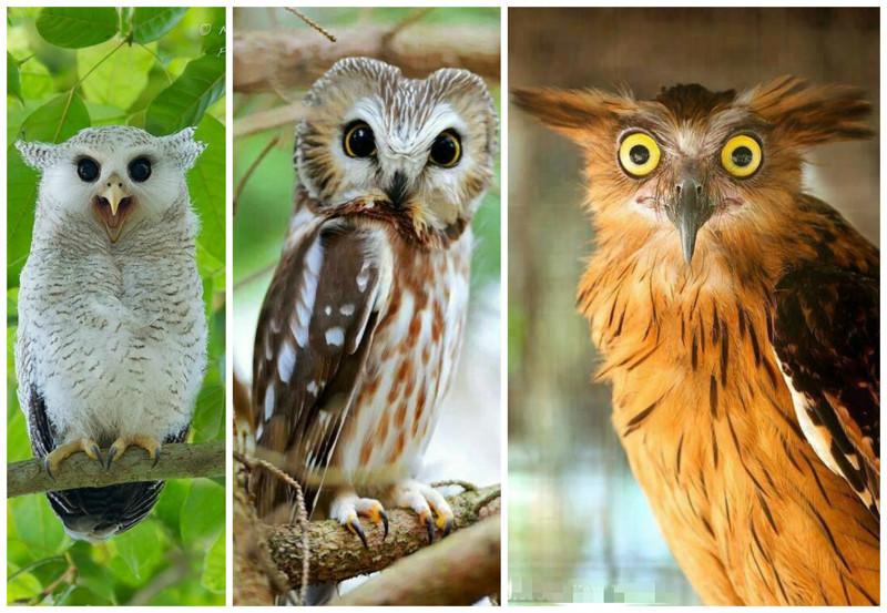Совы – очень разнообразная группа птиц, в ней более 220 видов, принадлежащих отряду совообразных интересное, природа, совиные, фауна