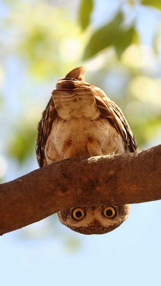 В отличие от большинства животных, у них три пары век: одна для мигания, вторая для сна, третья для фиксации ока. интересное, природа, совиные, фауна