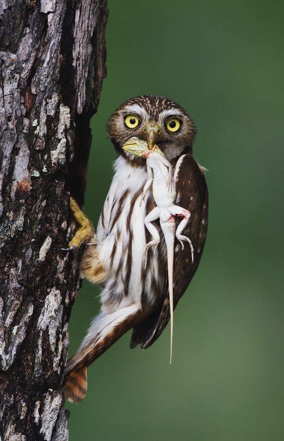 У многих народов совы являются символом мудрости. Сова всегда изображалась вместе с древнегреческой богиней мудрости Афиной Палладой и римской Минервой. интересное, природа, совиные, фауна