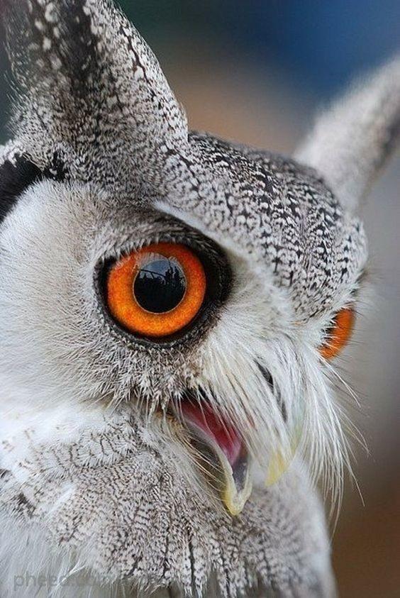 Совы – дальнозоркие птицы, они не могут видеть четко в нескольких сантиметрах от их глаз интересное, природа, совиные, фауна
