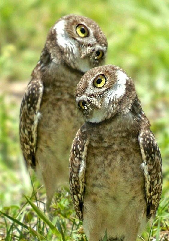 27 удивительных фактов о совах интересное, природа, совиные, фауна