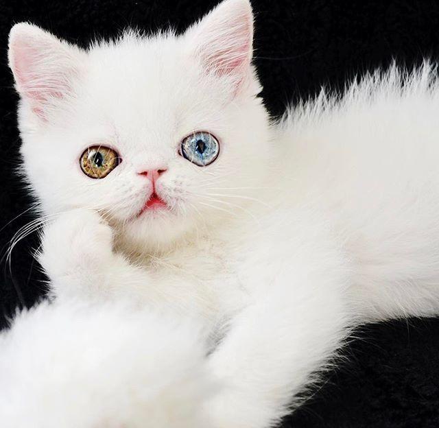 Пам Пам — котенок с разноцветными глазами, которые вас загипнотизируют глаза, животные, котенок