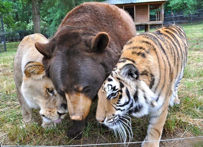 Неразлучное братство медведя, льва и тигра джорджия, животные, ноев ковчег, факты