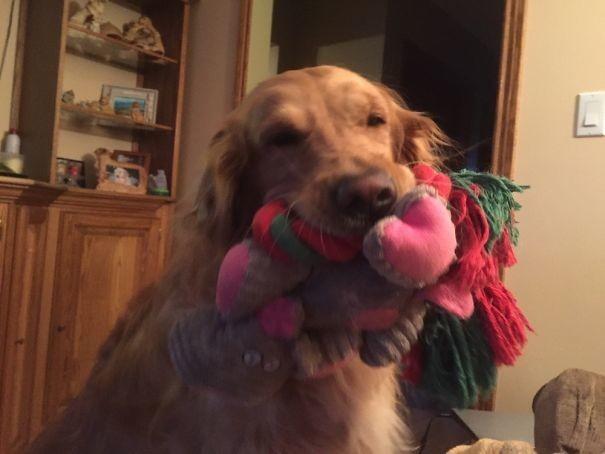 Этот пес решил показать гостям все свои игрушки животные, забавно, зверские шутки, смешно, собаки, ты не поверишь, фото, эти забавные животные