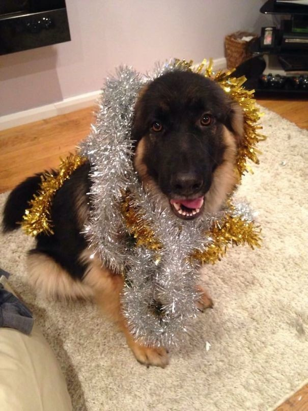Я - новогодняя елка! животные, забавно, зверские шутки, смешно, собаки, ты не поверишь, фото, эти забавные животные