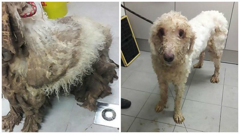 Спасенная собака до и после стрижки  животные, собака, спасение