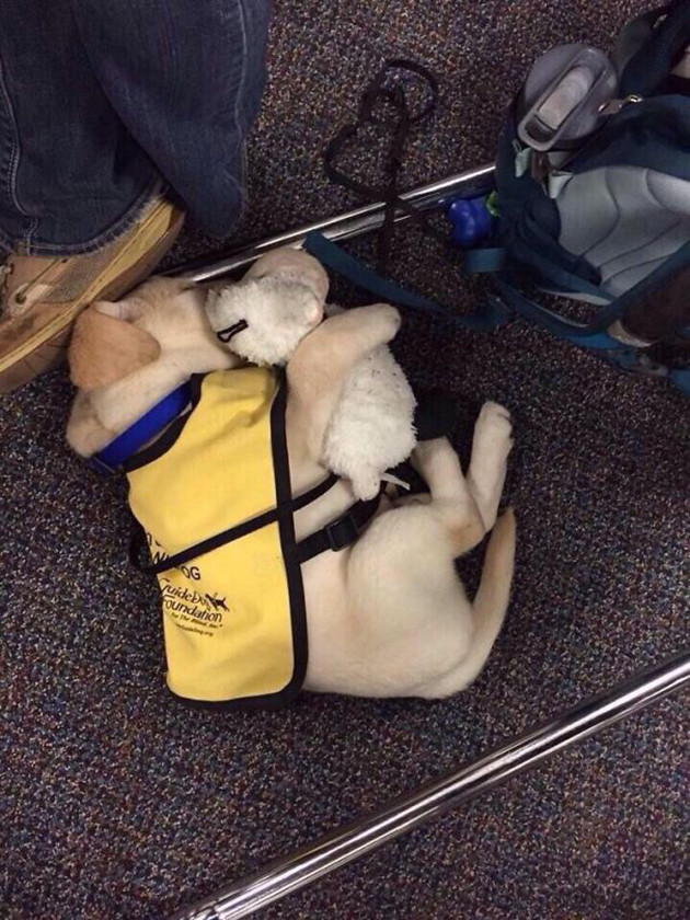Собака-поводырь со своим плюшевым мишкой животные, милота, полиция, прикол, работа, служба, собака, щенок
