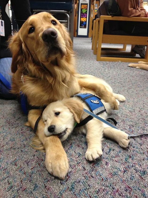 Тяжелая работа служебных собак животные, милота, полиция, прикол, работа, служба, собака, щенок