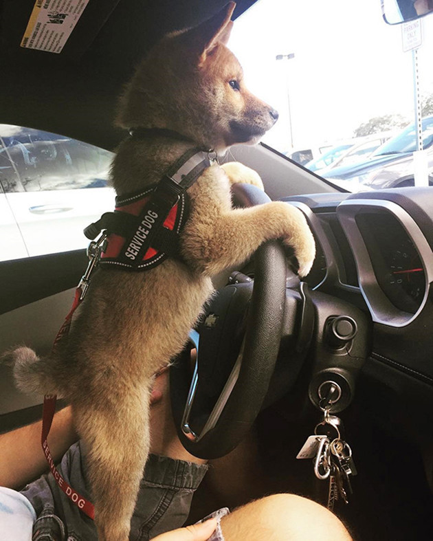 Служебный щенок на тренировке животные, милота, полиция, прикол, работа, служба, собака, щенок