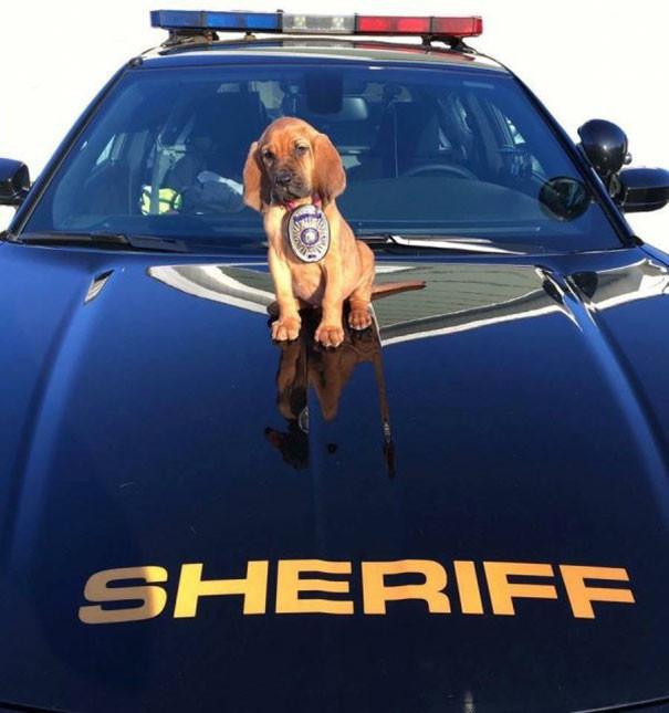 Новый шериф в городе животные, милота, полиция, прикол, работа, служба, собака, щенок