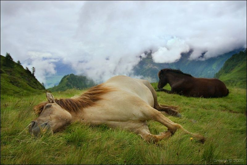 Как спят лошади животные, лошади, сон
