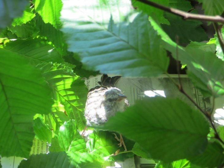 Этот птенец выпал из гнезда и умирал. Но посмотрите на него через 36 дней гнездо, птенец, умирал