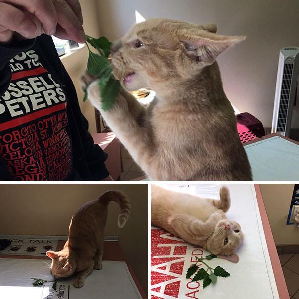 Первая мята животные, забавно, изменение сознания, кошачья мята, кошки, растения, смешно, фото