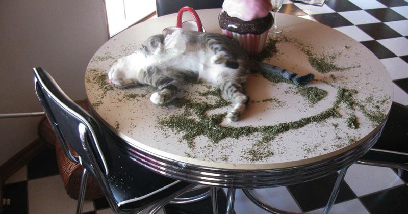 Эти кошки явно переборщили с кошачьей мятой! животные, забавно, изменение сознания, кошачья мята, кошки, растения, смешно, фото