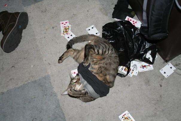 Карты, деньги, две понюшки животные, забавно, изменение сознания, кошачья мята, кошки, растения, смешно, фото