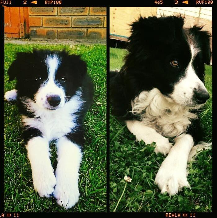 Джерси в 2 месяца - и в 7 лет до и после, животные, любимцы, мило, питомцы, собаки, трогательно, фото
