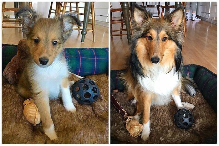 Пабло вырос до и после, животные, любимцы, мило, питомцы, собаки, трогательно, фото
