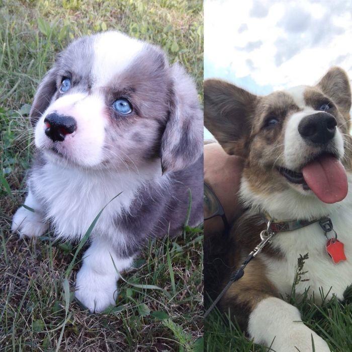 Паппету 8 недель и 11 месяцев до и после, животные, любимцы, мило, питомцы, собаки, трогательно, фото