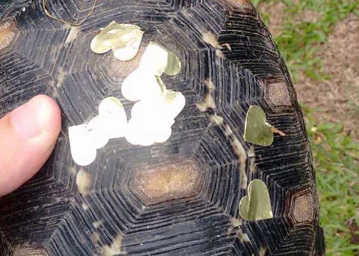 Домашняя черепашка, отсутствующая дома три недели, оказывается тусила на вечеринке вечеринка, животные, одетти, прикол, томас таварес, туса, черепаха, юмор