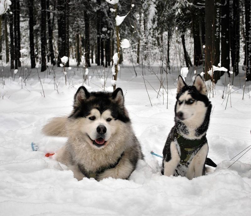 Хаски и Маламут вместе.  животные, маламут, собаки, хаски