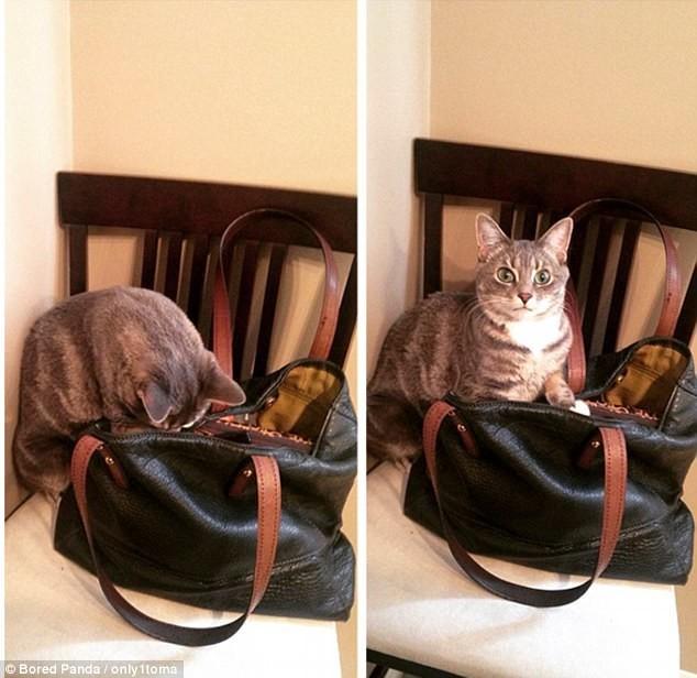 Женщина, это ваша сумочка? Ой, а я думала, моя! воришки, животные, коты, кошки, смешно, фото, хитрость, хитрый хвост
