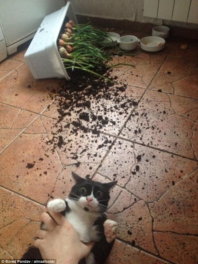 Не виноватая я! Он сам упал! воришки, животные, коты, кошки, смешно, фото, хитрость, хитрый хвост