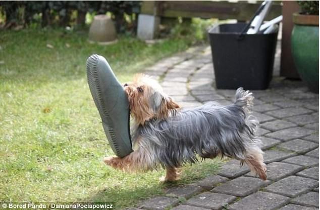 Но владельцы собак не обижаются. Должны же их любимцы доказать, что они ничем не хуже котов! воришки, животные, коты, кошки, смешно, фото, хитрость, хитрый хвост