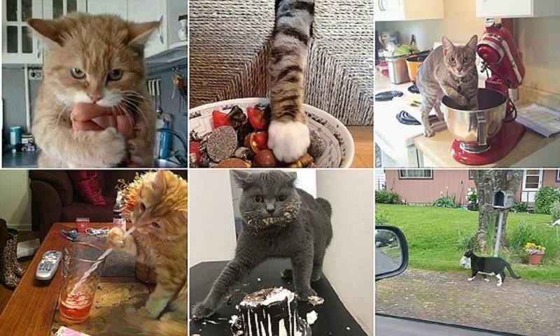 Кошки-воришки воришки, животные, коты, кошки, смешно, фото, хитрость, хитрый хвост