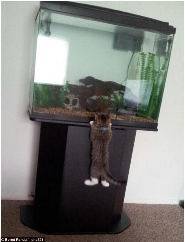 Рыбка-рыбка, не сбежишь! воришки, животные, коты, кошки, смешно, фото, хитрость, хитрый хвост