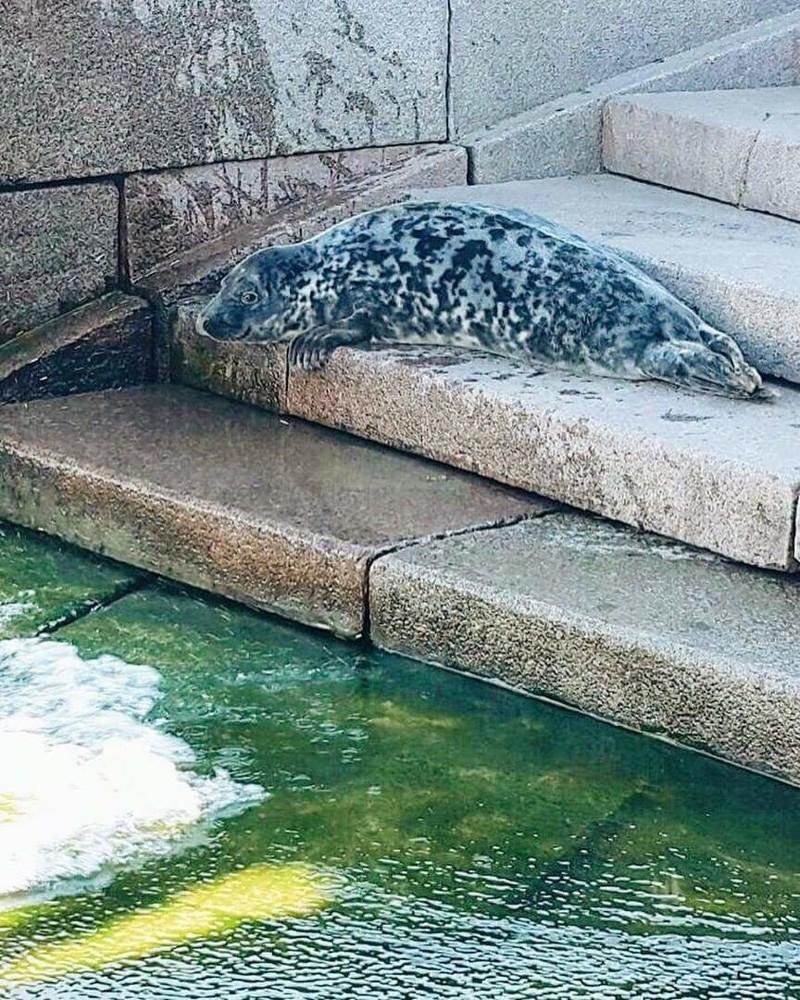 В центре Петербурга  спасли выброшенного из воды тюлененка добро, животные, люди, нерпа, петербург, спасение, тюлень
