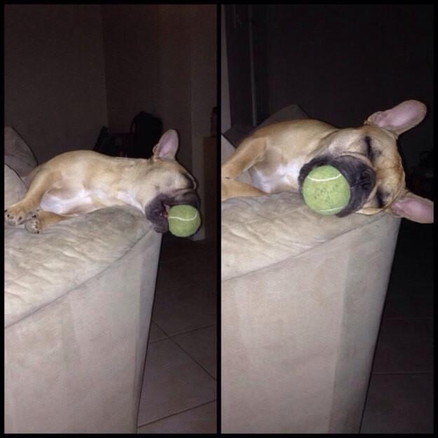 Забавные собаки, которые могут уснуть как и где угодно животные, смешное, собаки
