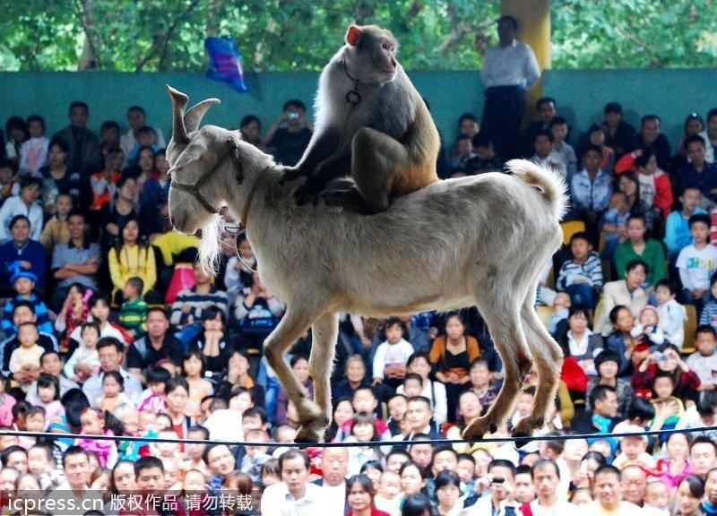 Ничего необычного, просто обезьяна верхом на козе, которая идет по канату домашние питомцы, енот, животные, кошки, собаки