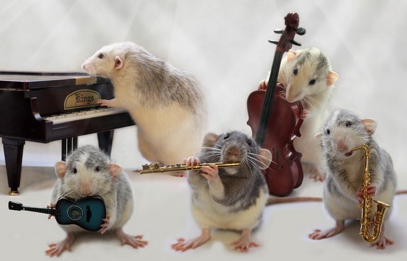 """Крысиный ансамбль """"Сырная мечта"""" домашние питомцы, енот, животные, кошки, собаки"""
