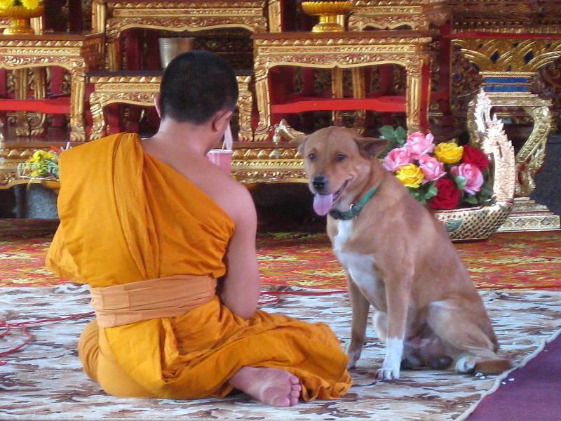 Собаки и котики в Юго-Восточной Азии   вьетнам, котики, отдых, питомцы, путешествия, собаки, тайланд, туризм